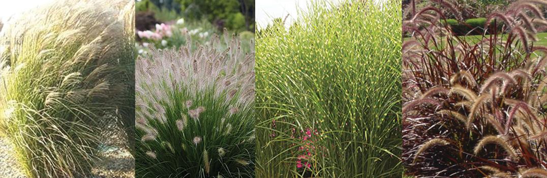 Best Ornamental Grasses for Maine Landscapes